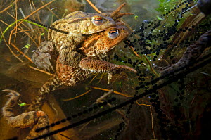Common toads (Bufo bufo), in amplexus (mating) in a pond, with spawn, Surrey, England, UK. March. - Linda Pitkin