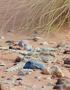 Egyptian nightjar (Caprimulgus aegyptius), two resting on sand, camouflaged amongst pebbles. Morocco. March.  -  Markus Varesvuo