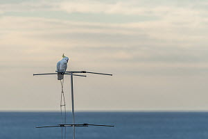 Portrait of a Sulphur-crested cockatoo (Cacatua galerita) perched on a TV antenna. Skenes Creek, Victoria, Australia. March. - Doug Gimesy