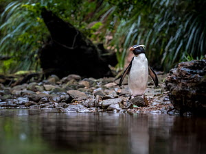 Fiordland penguin (Eudyptes pachyrhynchus) heads back up stream to its nest in the temperate rainforests on Fiordland southwest coast, South Island, New Zealand. October. - Doug Gimesy