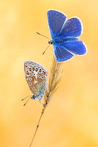 Common blue butterflies (Polyommatus icarus) basking in the morning light, Vealand Farm, Devon, UK. July  -  Ross Hoddinott