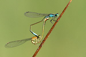 Blue-tailed damselflies (Ischnura elegans), mating pair, Meeth Quarry, Devon, UK. July - Ross Hoddinott