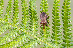 Dock Bug (Coreus marginatus) on bracken, Broxwater, Cornwall, UK. August.  -  Ross Hoddinott