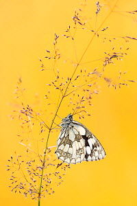 Marbled white butterfly (Melanargia galathea) resting among tall grasses and bathed in warm, early morning sunlight, Volehouse Moor, Devon, UK. July.  -  Ross Hoddinott