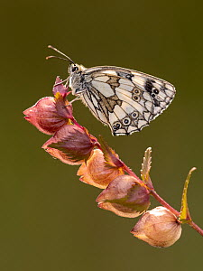 Marbled white butterfly (Melanargia galathea) perched on yellow rattle and bathed in late evening light, Volehouse Moor, Devon, UK. July.  -  Ross Hoddinott