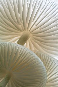 Close-up of backlit Porcelain fungus (Oudemansiella mucida) showing gills, Golith Falls, Bodin, Cornwall, UK. September.  -  Ross Hoddinott
