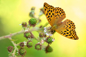 Silver-washed fritillaries (Argynnis paphia) feeding on bramble, Meeth Quarry, Devon, UK. July. - Ross Hoddinott