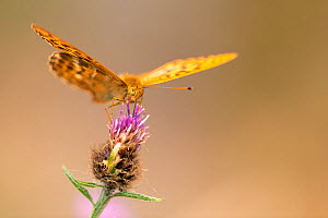 Silver-washed fritillaries (Argynnis paphia) feeding on knapweed, Meeth Quarry, Devon, UK. July. - Ross Hoddinott