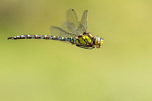 Southern hawker (Aeshna cyanea) dragonfly in flight, Broxwater, Cornwall, UK. July.  -  Ross Hoddinott
