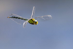 Southern hawker (Aeshna cyanea) dragonfly in flight, Broxwater, Cornwall, UK. August.  -  Ross Hoddinott