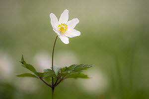 Wood anemone flower (Anemone nemorosa), RHS Rosemoor, near Great Torrington, Devon, UK. April.  -  Ross Hoddinott