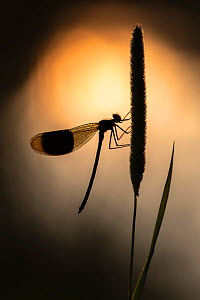 Banded demoiselles (Calopteryx splendens) male, roosting among grasses, silhouetted against the sun reflected in the water, Lower Tamar Lakes, Cornwall, UK. July.  -  Ross Hoddinott