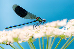 Banded demoiselle (Calopteryx splendens), male, Lower Tamar Lakes, Cornwall, UK. July. - Ross Hoddinott