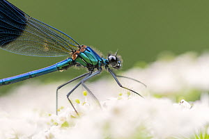 Banded demoiselle (Calopteryx splendens), Lower Tamar Lakes, Cornwall, UK. July. - Ross Hoddinott