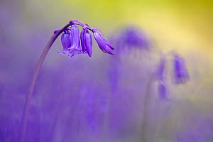 Bluebell (Hyacinthoides non-scripta) flowering in ancient woodland, Lanhydrock, Cornwall, UK. May. - Ross Hoddinott