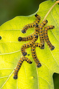 Buff tip moth (Phalera bucephala) caterpillars feeding on leaf, Meeth Quarry, Devon, UK. July - Ross Hoddinott