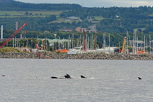 Long-finned pilot whale (Globicephala melas) passing Chanonry Point. Highlands, Scotland, August. A large pod entered the inner Moray Firth where one animal stranded and died. The rest of the pod left... - Terry  Whittaker