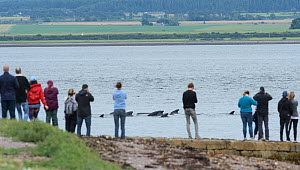 People watching Long-finned pilot whale (Globicephala melas) passing Chanonry Point. Highlands, Scotland. August 2017. A large pod entered the inner Moray Firth where one animal stranded and died. The... - Terry  Whittaker