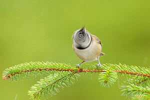 Crested tit (Lophophanes cristatus) shaking head, Black Isle, Scotland. February - Terry  Whittaker