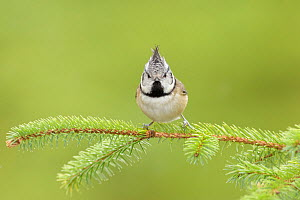 Crested tit (Lophophanes cristatus), Black Isle, Scotland. February - Terry  Whittaker
