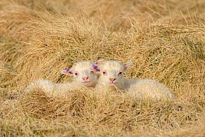 Lambs sheltering from the wind. Langanes peninsula, northeast Iceland. May.  -  Terry  Whittaker