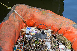 Coot (Fulica atra) nesting in old inflatable boat on canal. Amsterdam. Netherlands, April. - Terry  Whittaker