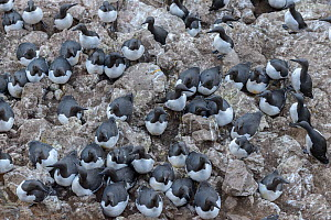 Common murre / guillemots (Uria aalge) in nest colony on Langanes peninsula, northeast Iceland. May. - Terry  Whittaker
