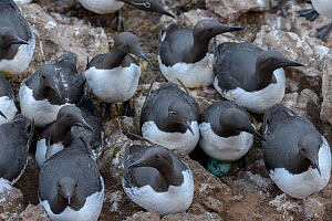 Common murre or common guillemot (Uria aalge). Langanes peninsula, northeast Iceland. May. - Terry  Whittaker