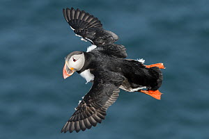 Puffin (Fratercula arctica) flying, Skoruvikurbjarg, Langanes Peninsula. Northeast Iceland. May. - Terry  Whittaker