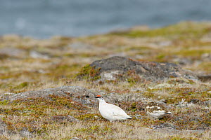 Ptarmigan (Lagopus muta) male Langanes peninsula, northeast Iceland. May. - Terry  Whittaker