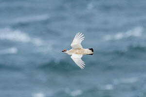 Ptarmigan (Lagopus muta) male in flight Langanes peninsula, northeast Iceland. May. - Terry  Whittaker