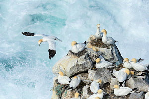 Gannets (Morus bassanus) flying from nesting colony on Skoruvikurbjarg cliffs above rough sea, Langanes Peninsula, Northeast Iceland. May. - Terry  Whittaker