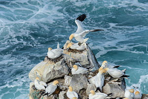 Gannets mating (Morus bassanus) at nesting colony on Skoruvikurbjarg cliffs above rough sea, Langanes Peninsula Northeast Iceland. May. - Terry  Whittaker