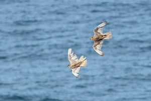 Gyrfalcons (Falco rusticolus) in flight, Skoruvikurbjarg bird cliffs, northeast Iceland. May.  -  Terry  Whittaker