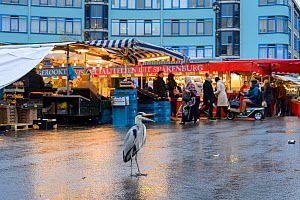 Grey Heron ( Ardea cinerea) at fish market waiting to scavenge scraps of food. Amsterdam, Netherlands. April 2017. - Terry  Whittaker