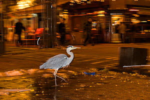 Grey Heron ( Ardea cinerea) scavenging at night, Amsterdam, Netherlands. April 2017.  -  Terry  Whittaker