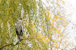 Grey Heron ( Ardea cinerea) perched, Amsterdam, Netherlands. April. - Terry  Whittaker