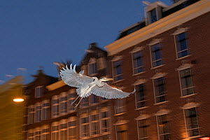 Grey heron ( Ardea cinerea) flying at night, Amsterdam, Netherlands. April.  -  Terry  Whittaker
