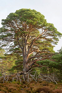 Scots Pine (Pinus sylvestris), ancient tree with large fallen branch, Cairngorms National Park, Scotland, UK, October. - Terry  Whittaker