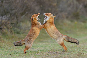 Red foxes (Vulpes vulpes) play fighting in sand dunes. Netherlands. November. - Terry  Whittaker