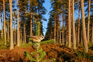 Crested tit (Lophophanes cristatus) perched, Black Isle, Scotland. February - Terry  Whittaker