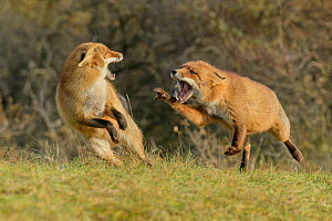 Red foxes (Vulpes vulpes) fighting in sand dune habitat, Holland, Netherlands. November.  -  Terry  Whittaker