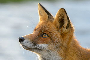 Red fox (Vulpes vulpes), on coast, portrait. Netherlands. November.  -  Terry  Whittaker
