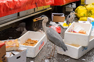 Grey heron ( Ardea cinerea) scavenging fish. Herons congregate around the fish stalls as city markets are closing, picking up scraps of food. Amsterdam, Netherlands. April.  -  Terry  Whittaker