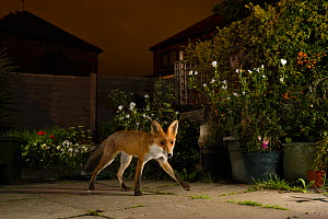 Red fox (Vulpes vulpes), in urban garden, Manchester, UK. July  -  Terry  Whittaker