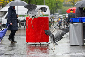 Grey Heron ( Ardea cinerea). Amsterdam, Netherlands. April. Heron congregate around the fish stalls as city markets are closing, picking up scraps of food.  -  Terry  Whittaker