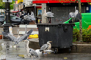 Grey herons ( Ardea cinerea) scavenging from bin. Herons congregate around the fish stalls as city markets are closing, picking up scraps of food. Amsterdam, Netherlands. April.  -  Terry  Whittaker