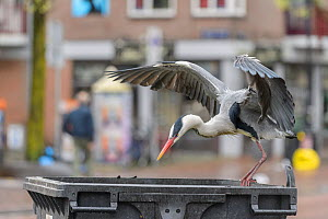 Grey heron ( Ardea cinerea) flying to bin. Herons congregate around the fish stalls as city markets are closing, picking up scraps of food. Amsterdam, Netherlands. April.  -  Terry  Whittaker