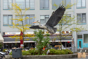 Grey Heron ( Ardea cinerea) flying near fish stalls as city markets are closing, to pick up scraps of food. Amsterdam, Netherlands. April. - Terry  Whittaker