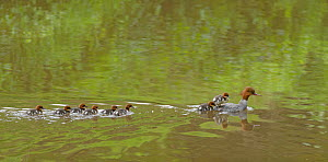 Goosander (Mergus merganser) female swimming with chicks following, Reddish Vale Country park, Greater Manchester, UK. May 2014  -  Terry  Whittaker